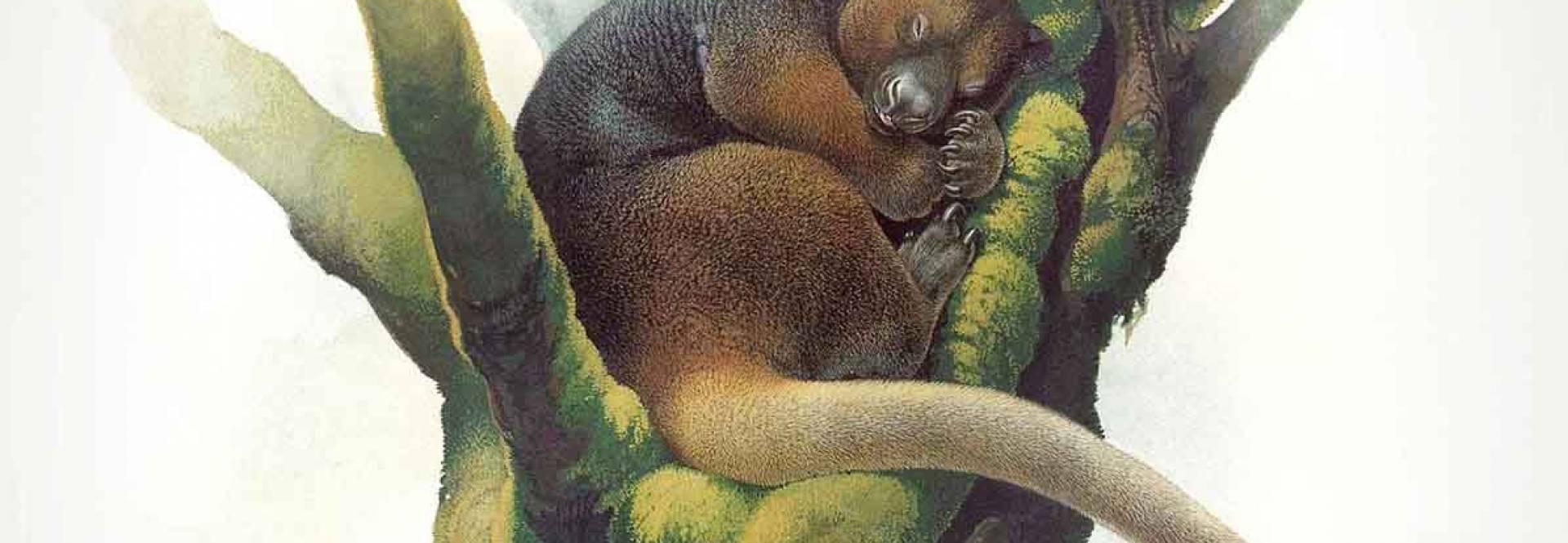 Após ser considerado extinto, raríssimo canguru ressurge