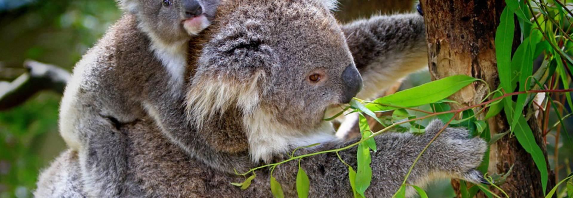 Cinco curiosidades sobre os coalas