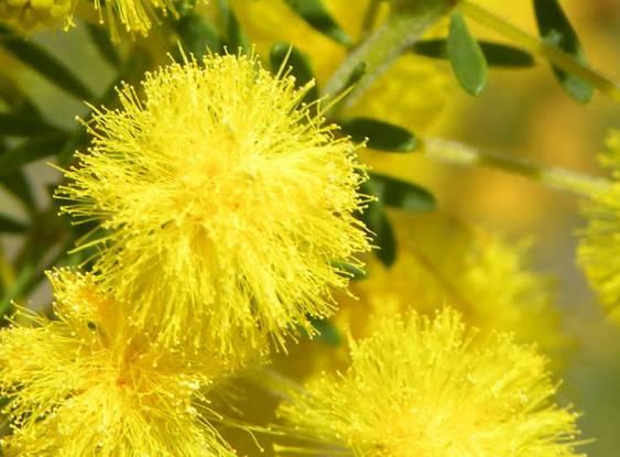 A beleza da Golden Wattle