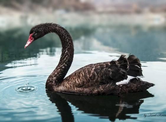 O cisne negro existe